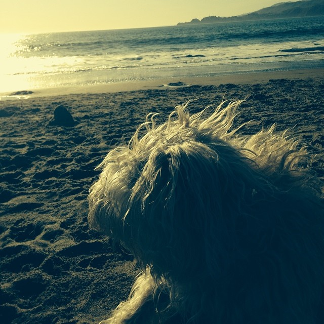 Gigi checking out the surf at #BakerBeach on this summer like spring day.