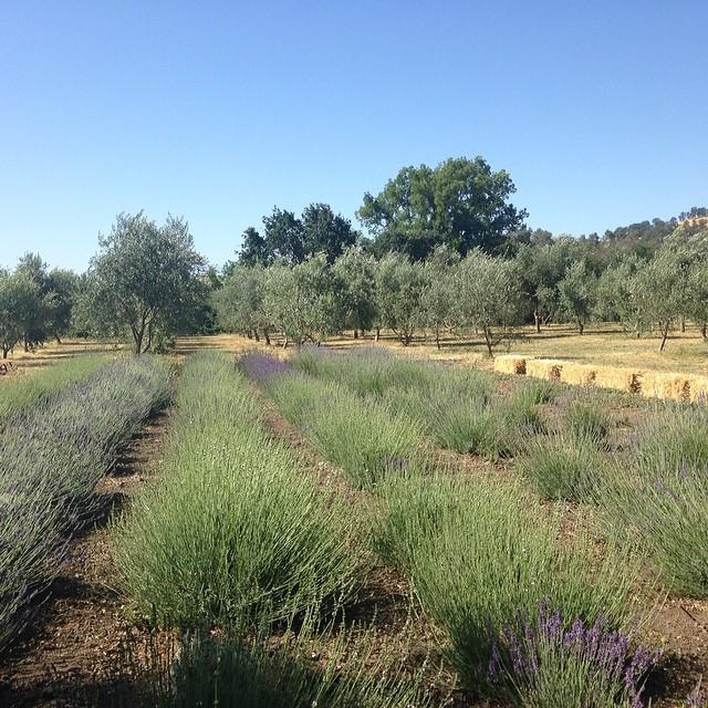 Lavender fields @soulfoodfarm