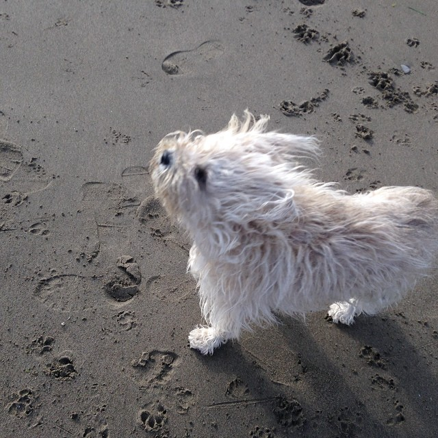 Gigi pushing thru the wind at Baker Beach.